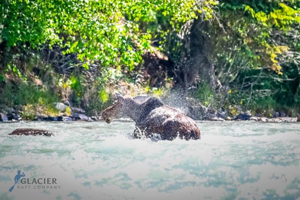Wildlife in the Kicking Horse River in Golden, B.C.